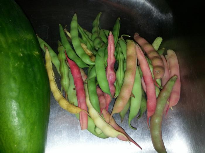 Photo of pink and green beans, still in the pods.