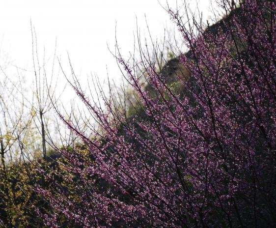 Eastern Redbud blossoms