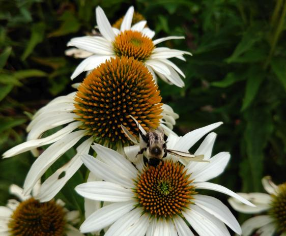 Bumblebee on white echinacea flowers.