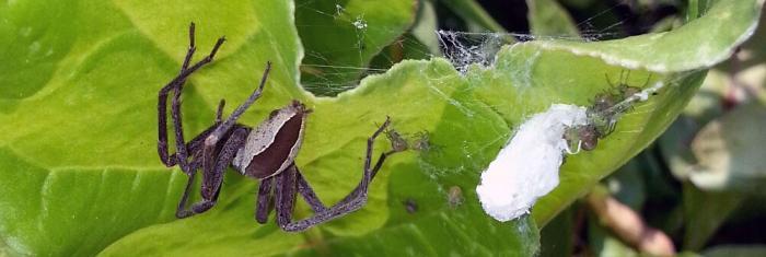 Closeup of Nursery Web Sspider, nest, and babies.